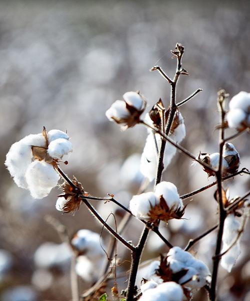 Budd Swiss Organic Cotton
